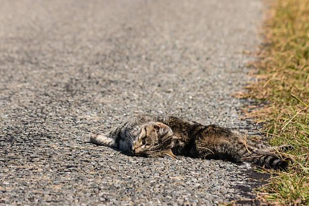 mortos Tabby gatinho deitada em estrada - foto de acervo