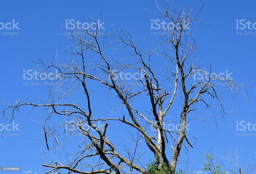 Dead Tree Against Blue Sky stock photo