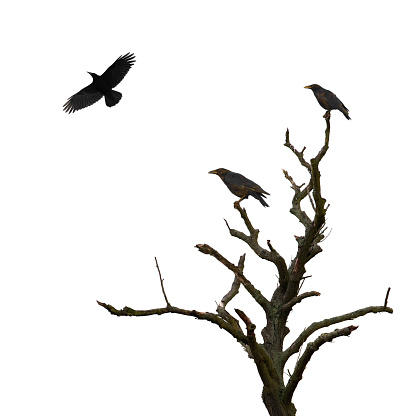 Dead tree and crows