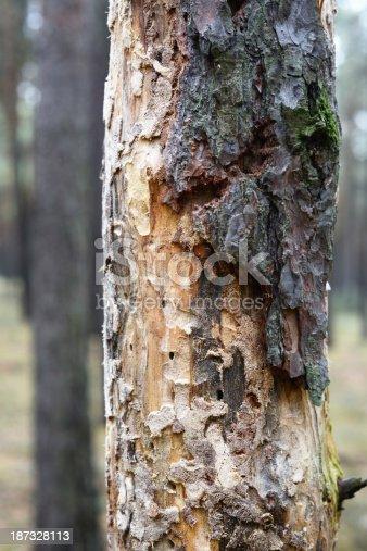 Dead tree by bark beetle infestation.