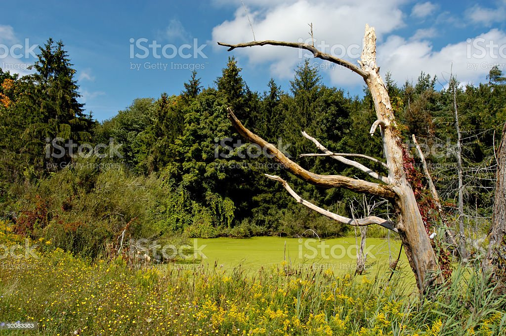 Dead Tree By Pond royalty-free stock photo