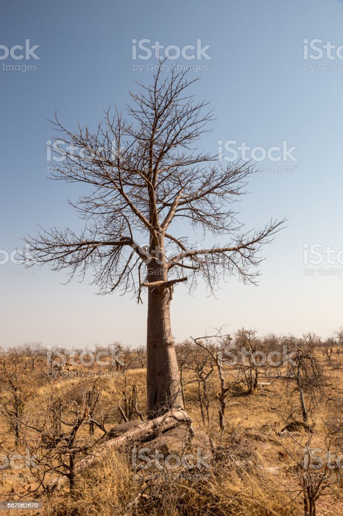 Dead Tree in Desert Landscape of Mapungubwe National Park, South Africa stock photo