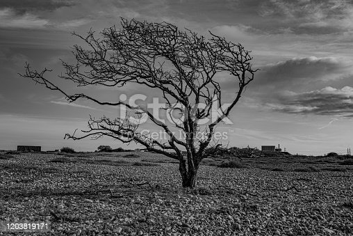 Black and white photo of dead tree standing alone in the UK's only desert