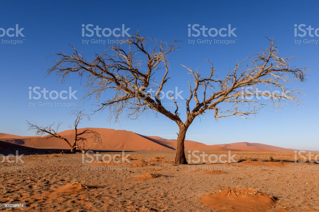 Dead tree in Sossusvlei near Sesriem in famous Namib Desert in Namibia, Africa. Beautiful red sand dunes, amongst the highest in the world, in the background. stock photo