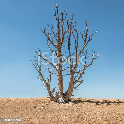 A dead tree in the Bryce Canyon, Utah