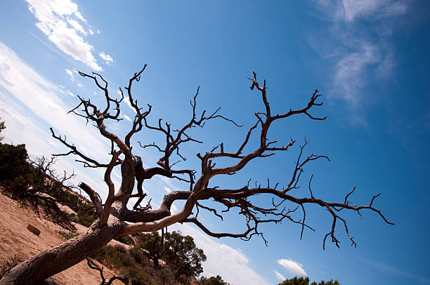 Dead Tree in the Desert stock photo