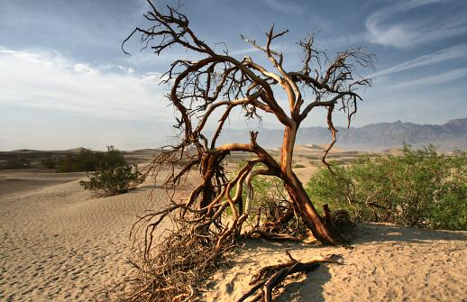 Dead Tree In The Mojave Desert Death Valley California ...