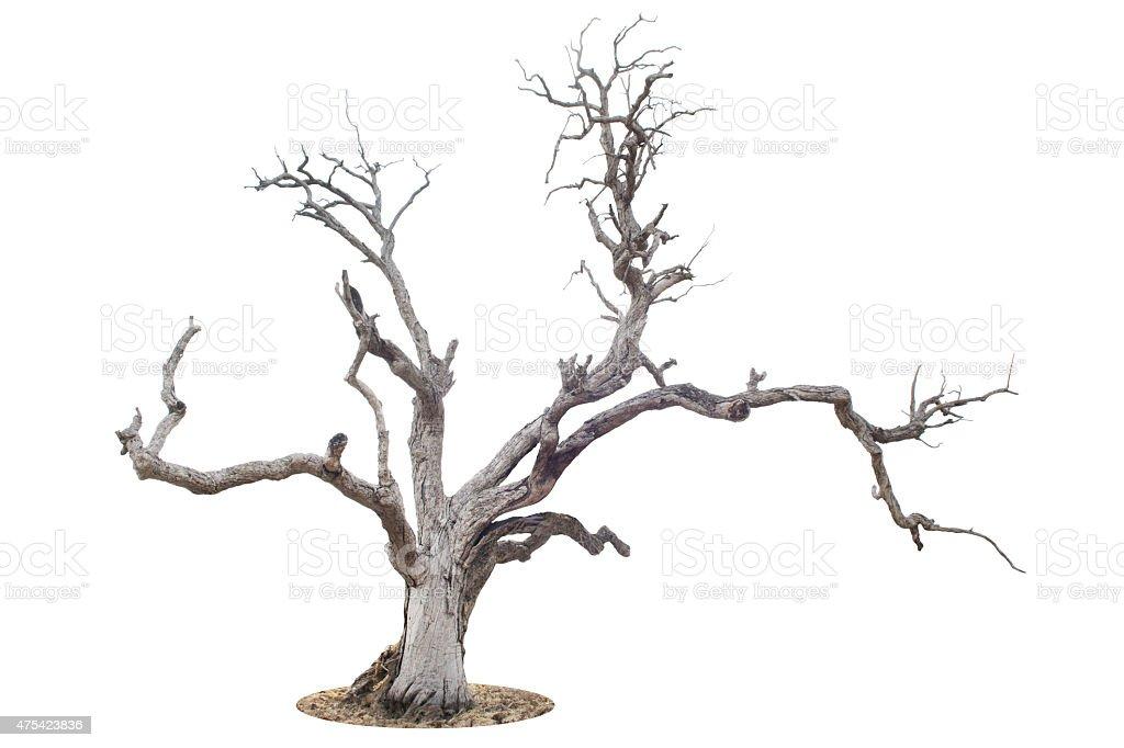 Dead árbol aislado sobre fondo blanco - foto de stock