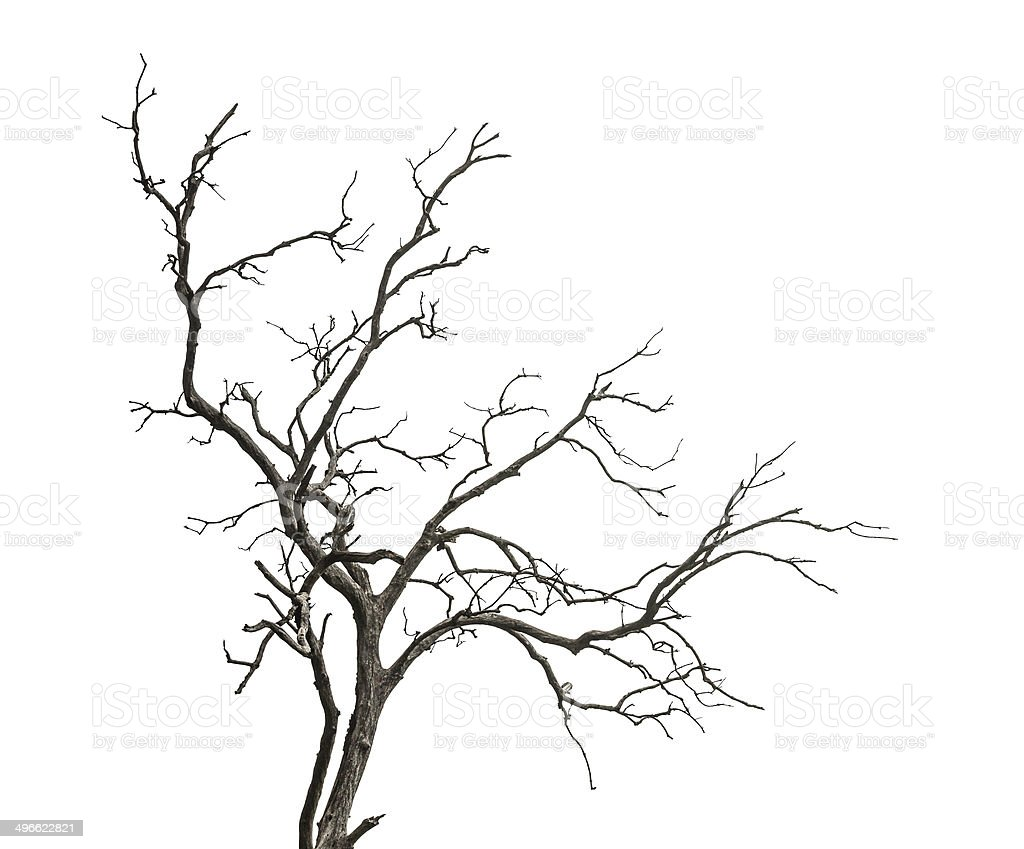Dead tree isolated on white background stock photo