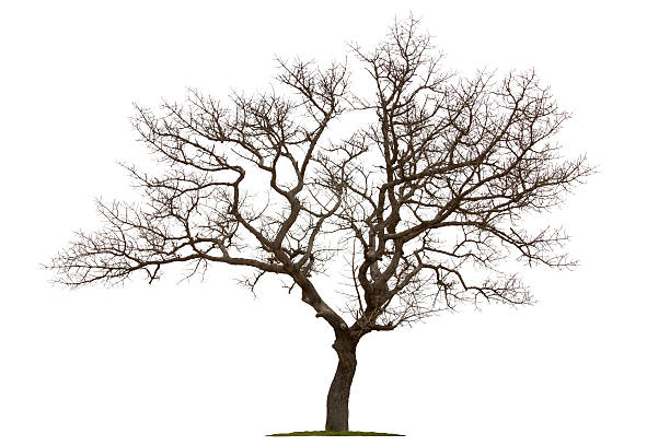 Dead tree isolated with white background Dead tree isolated with white background dead stock pictures, royalty-free photos & images