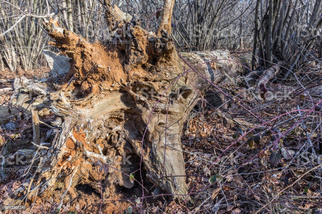Dead tree left on the ground to support the reproduction of saproxylic insects stock photo