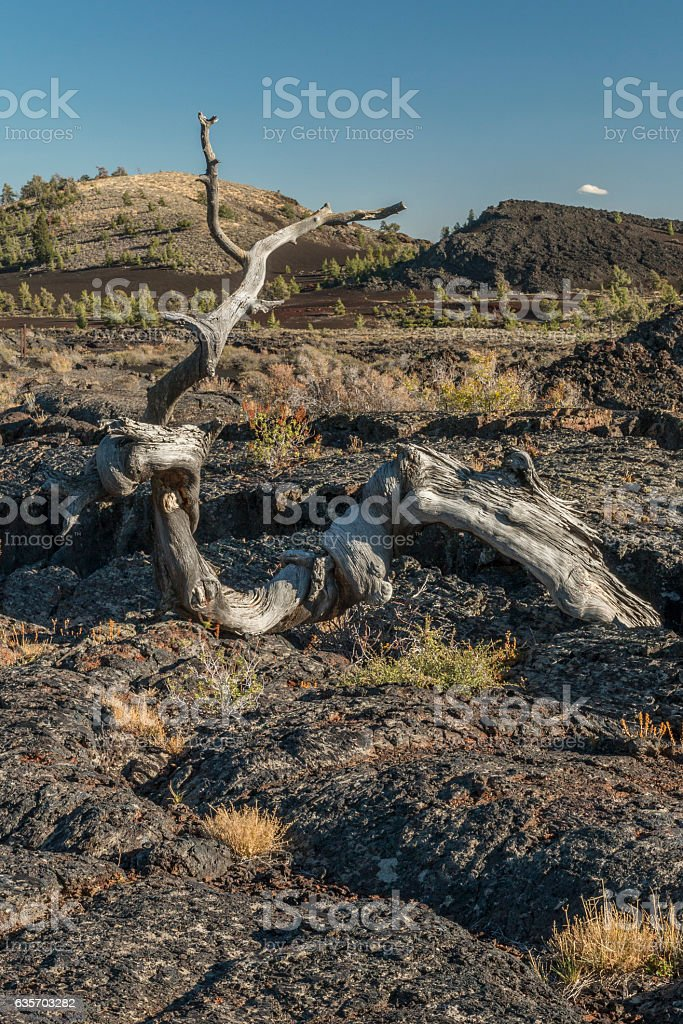 Dead tree on an ancient lava flow. royalty-free stock photo