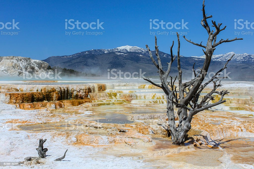 Dead tree on the Mammoth Hot Springs Terraces stock photo