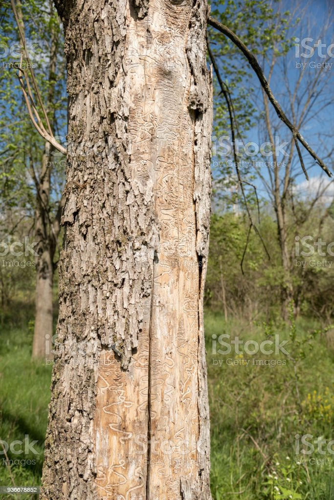 Dead Tree Trunk Showing Tracks of Emerald Ash Borer Larva stock photo