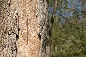 Dead Tree Trunk Showing Tracks of Emerald Ash Borer Larvae