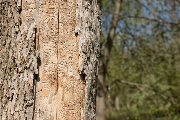 dead tree trunk showing tracks of emerald ash borer larvae - introduced species stock pictures, royalty-free photos & images