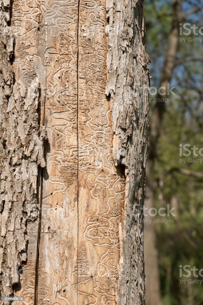 Dead Tree Trunk Showing Tracks of Emerald Ash Borer Larvae stock photo