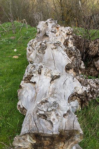 Dead Tree Trunk - Tronco de Arbol Muerto