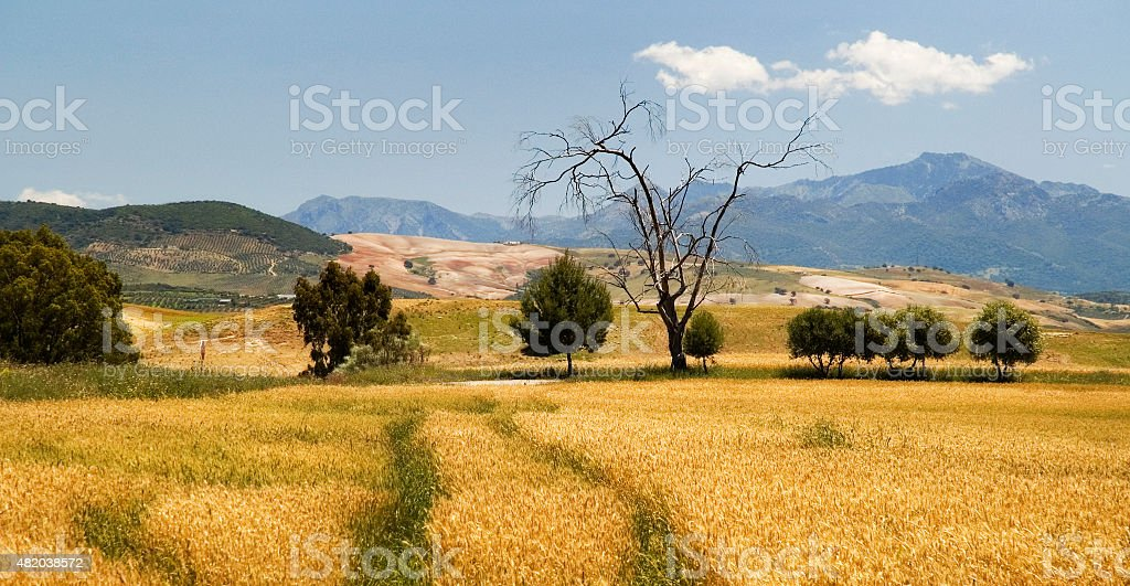 Dead tree, wheatfield, mountains, Loma de las Garrapatas, Andalusia, Spain stock photo