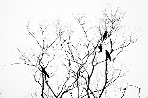 Dead tree with birds silhouette