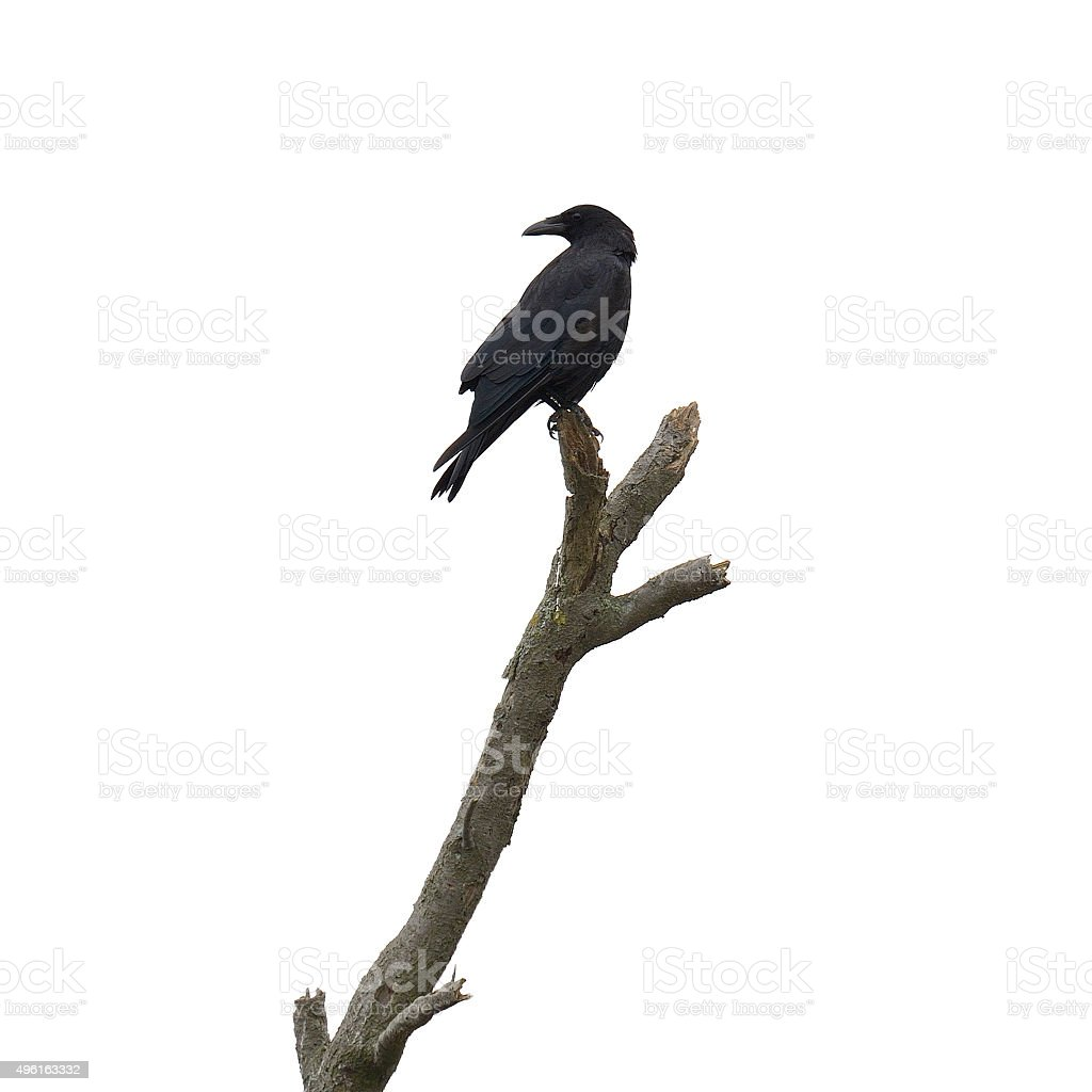 Dead tree with crow stock photo