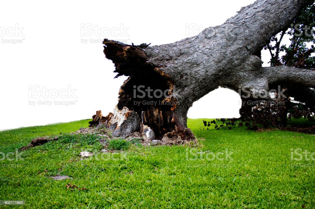 Dead tree without back ground stock photo