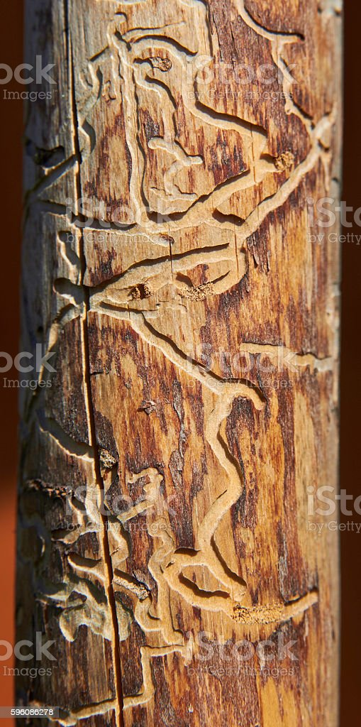 Dead tree wood eaten through by boring beetle royalty-free stock photo