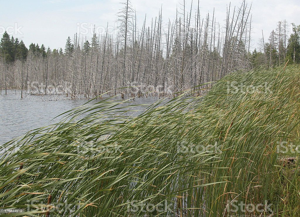 Dead trees and blowing bullrushes. stock photo