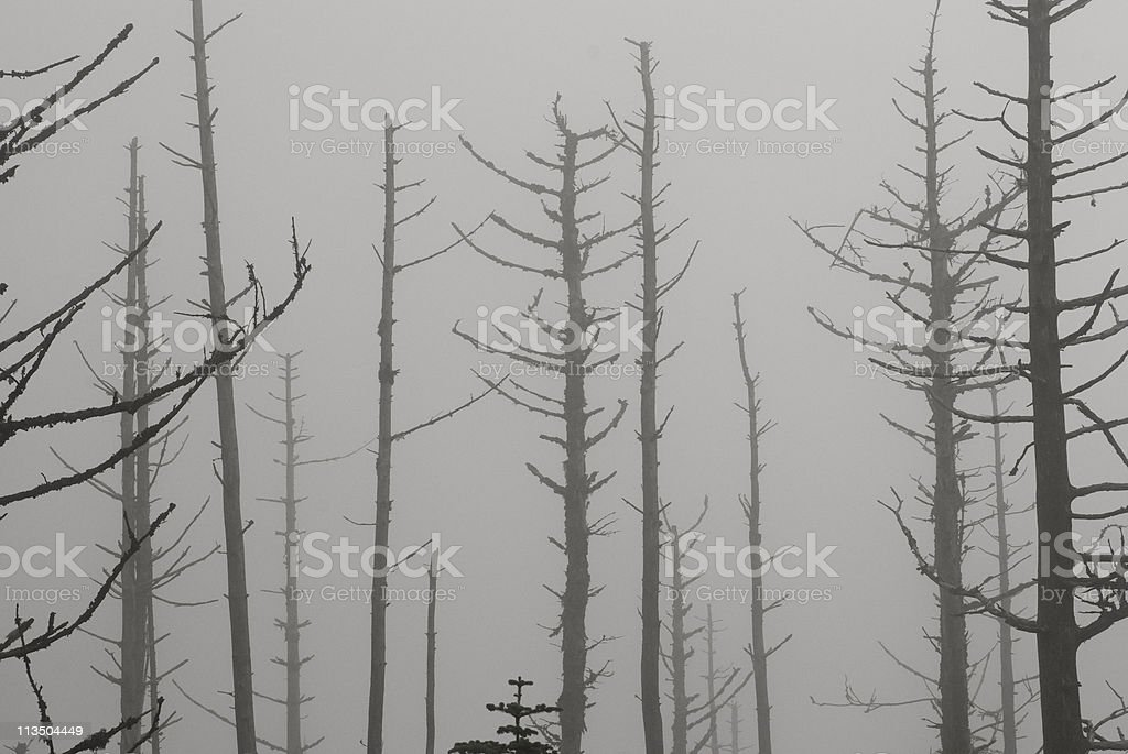 Dead Trees and Fog stock photo