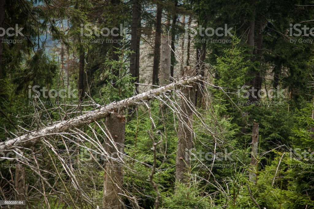 Dead Trees and new young saplings stock photo