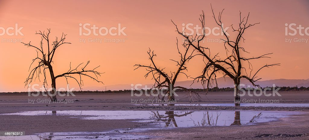 Dead Trees at the Salton Sea stock photo