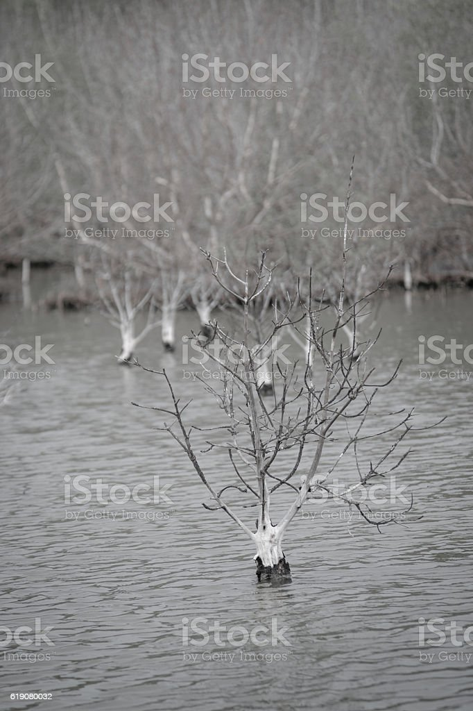 Dead trees in flooded lake for a background. stock photo