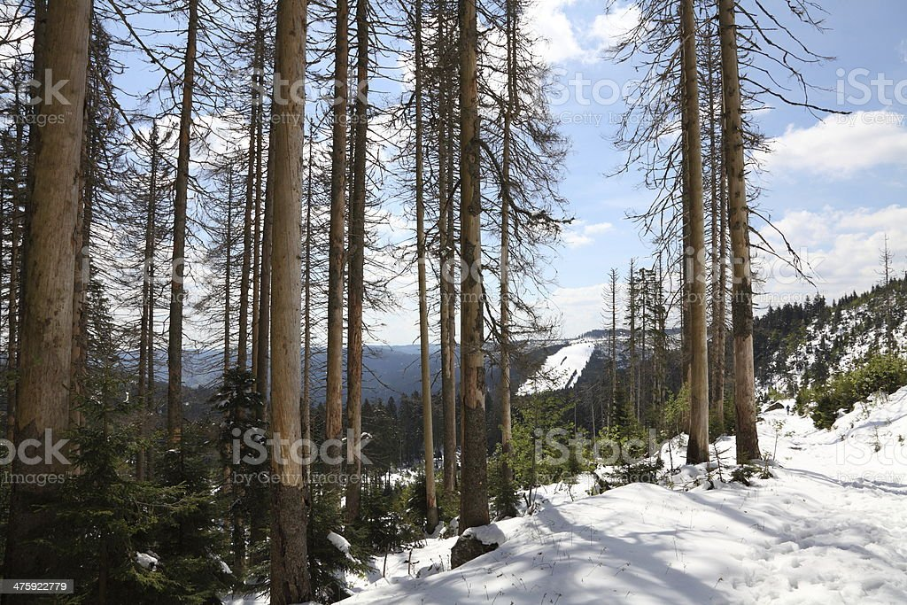 dead trees in forest royalty-free stock photo