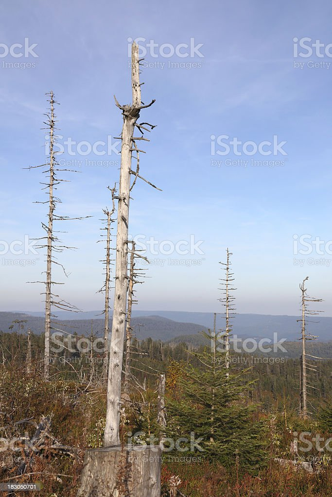 dead trees in the Black Forest (Germany) stock photo