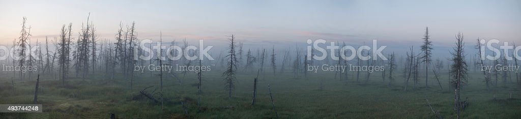 dead trees in the fog on the swamps stock photo