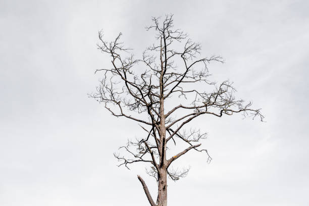 Dead trees isolated stock photo