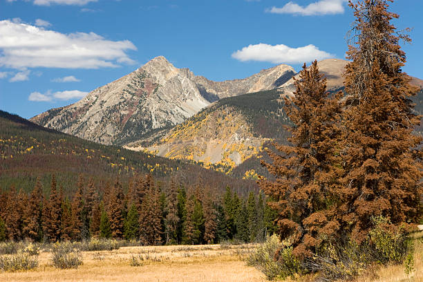 Dead Trees Killed by Pine beetle damage, Colorado stock photo