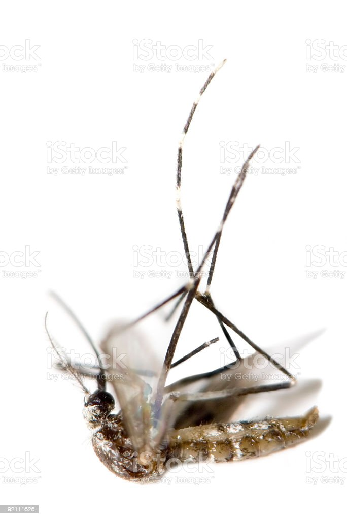 Dead Tropical Mosquito royalty-free stock photo