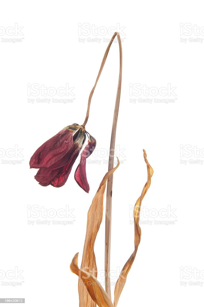Dead Tulip stock photo