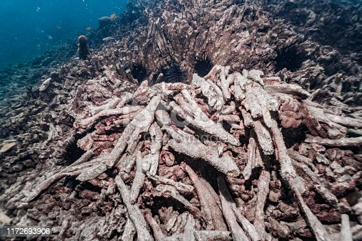 The devastating effects of Coral bleaching as a result of Climate Change.  These corals are dead due to the ocean temperature rising and causing loss of endosymbiotic algae.  This once was a garden of healthy coral. Now this coral reef ecosystem is decimated leaving nothing but rubble.  Footage taken whilst scuba diving at Phi Phi islands, Krabi province, Thailand.