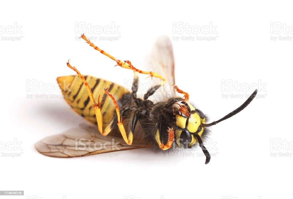 dead wasps royalty-free stock photo