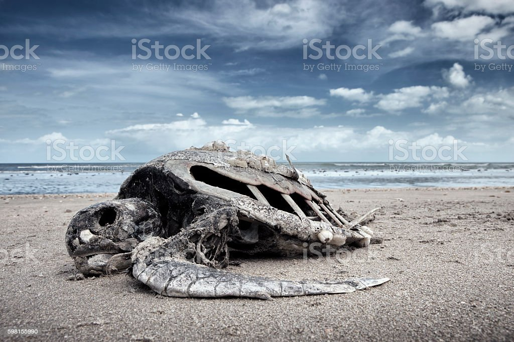 Dead water turtle (caretta caretta) which is an endangered species stock photo