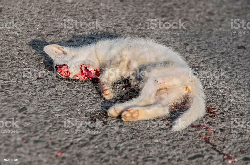 Dead white cat bleeding on asphalt road stock photo