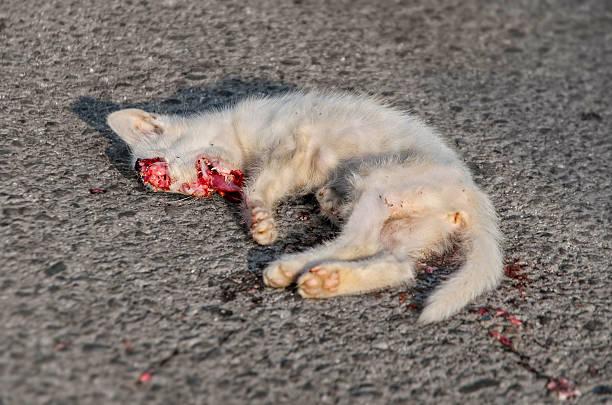 Dead Sangramento de gato branco na estrada de asfalto - foto de acervo