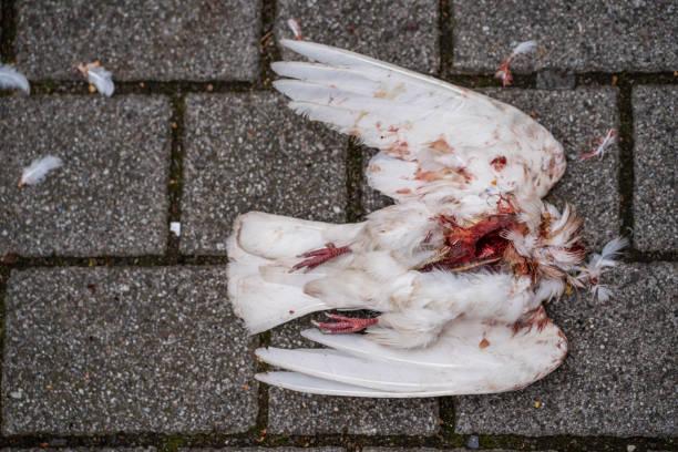 Dead white pigeon on boardwalk stock photo