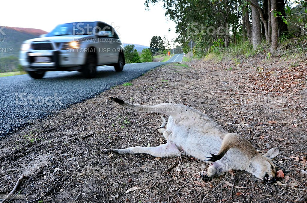 Dead Wild Kangaroo in Queensland Australia stock photo
