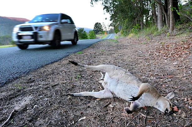 Canguru morto selvagem, em Queensland, Austrália - foto de acervo