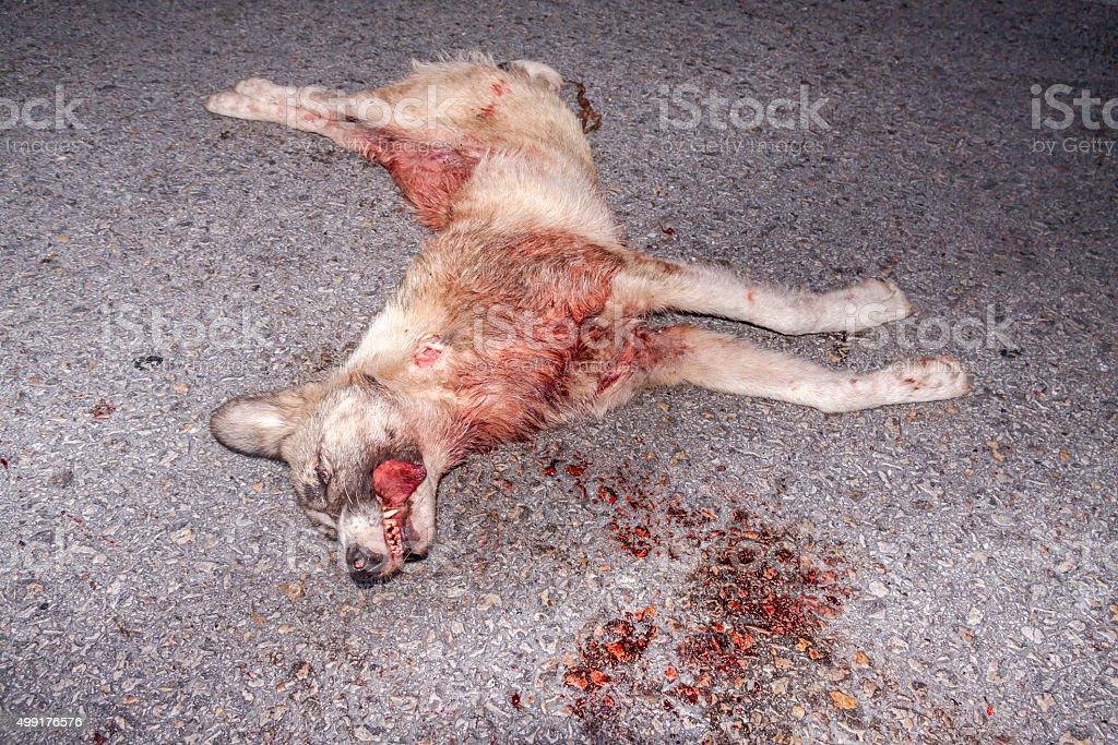 Dead wild wolf on asphalt stock photo