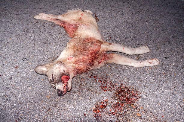 Dead velho lobo no asfalto - foto de acervo