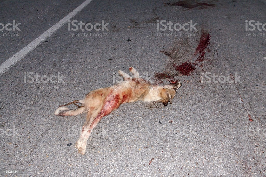 Dead wild wolf on asphalt stock photo